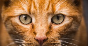 Chlamydia cats: symptoms, treatment, tests, vaccination
